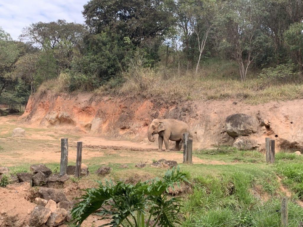 elefante do Zoopark Itatiba