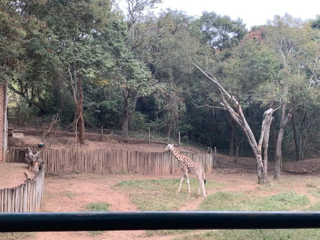 Girafa do Zoopark Itatiba