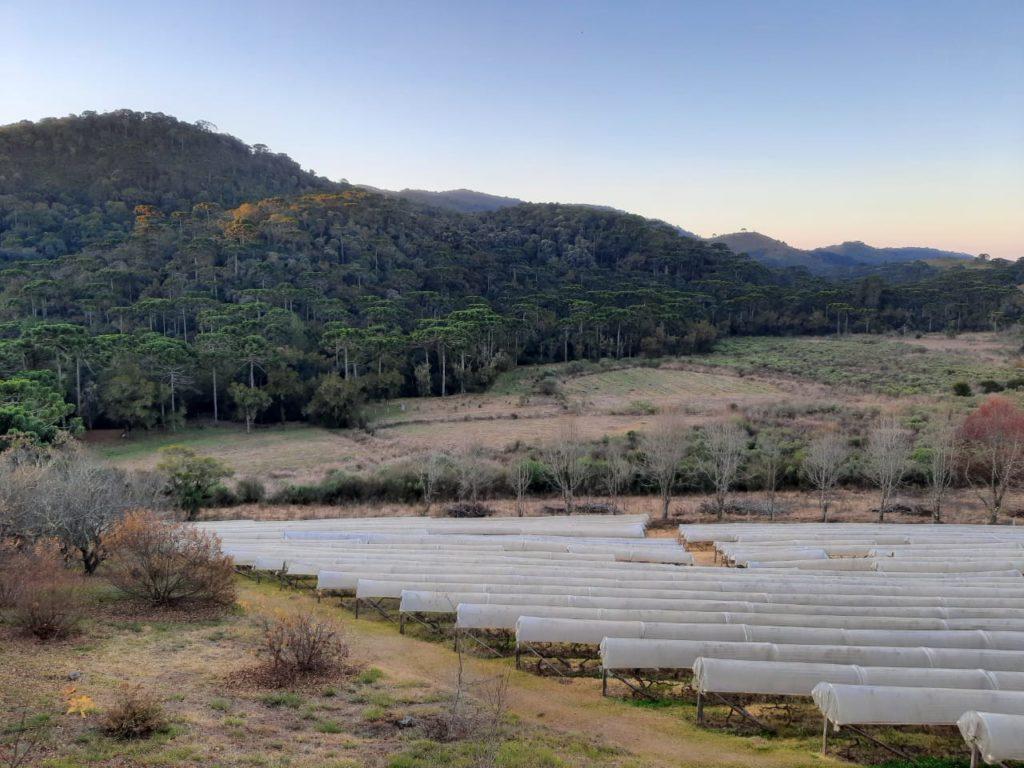 Vinícola Entre Vilas e suas plantações de uvas