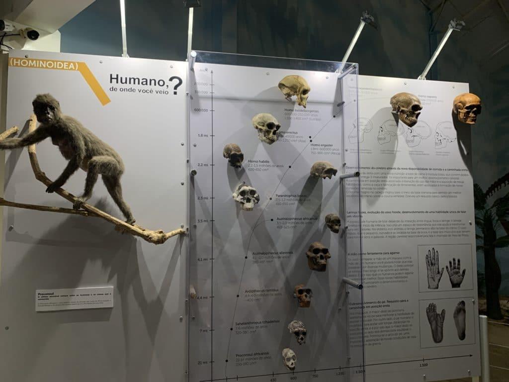 Evolução Humana com seus fósseis em Itatiba
